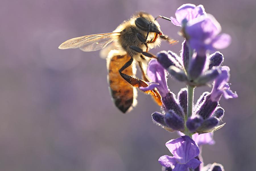 Bienenfoto Lavendel