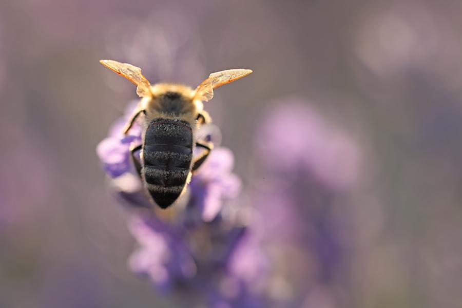 Biene Lavendel Api