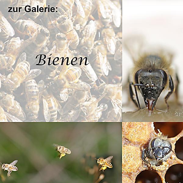 zu Bienen Fotos