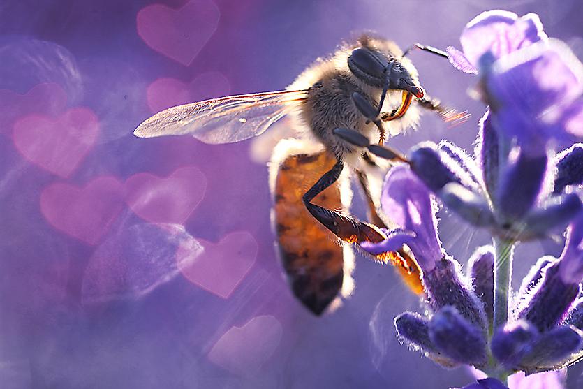 Biene im Lavendel | Gabriele Steinig