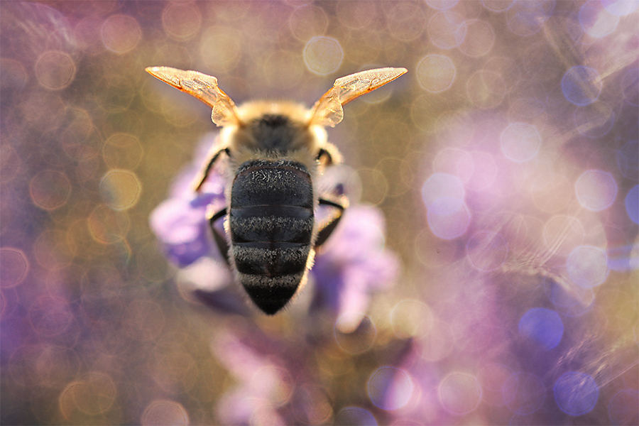 Bee in glory | Gabriele Steinig
