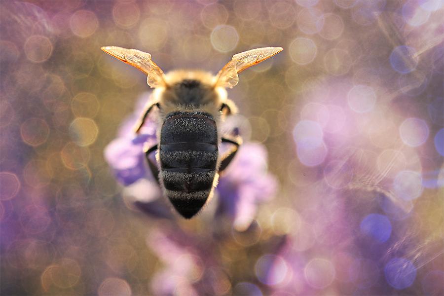 Bee in glory | Gabriele Steinig
